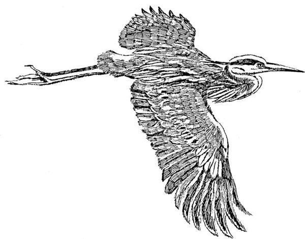 Great_blue_heron_in_flight_line_art_drawing_illustration.free for all use