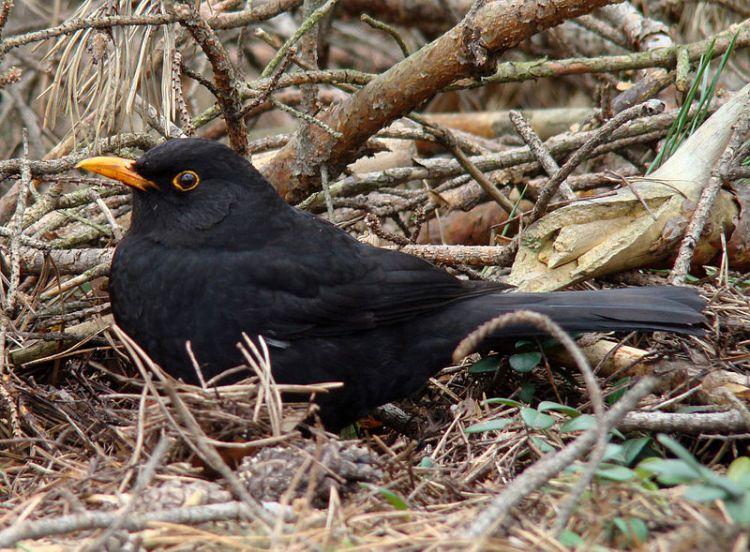 A watchful blackbird.  Source: Wikimedia.