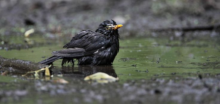 Blackbird bathing.  Source: Wikimedia.
