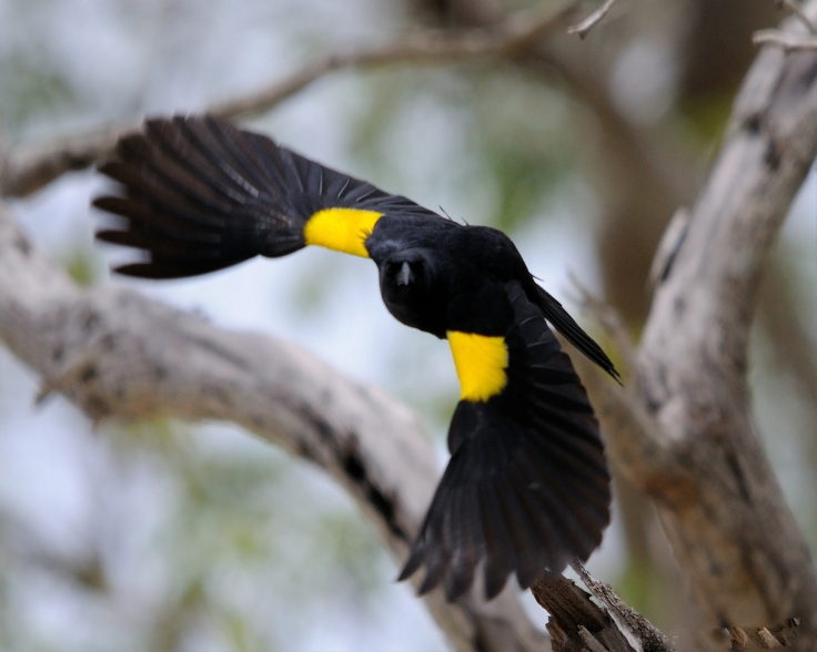 """Identities move.""  A central theme of the second half of this work.  Photo of a Yellow Shouldered Blackbird by Mike Morel.  Source: Wikimedia."