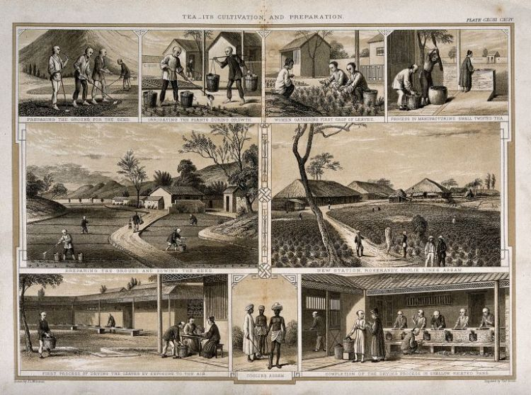 A period print illustrating the different stage of processing raw tera leaves.  The information in this image was first recorded by Robert Fortune.  Source: Joseph Williams, 1850.