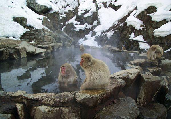 Japanese Macaques at Nagano Hotsprings.  Source: Wikimedia.
