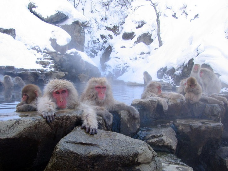 "Given the extreme cold gripping much of N. America right now I thought that I would post some pictures to help my readers think ""warm thoughts.""  Source: Monkey's at the Jigokudani Hotsprings in Nagano Japan.  Wikimedia."