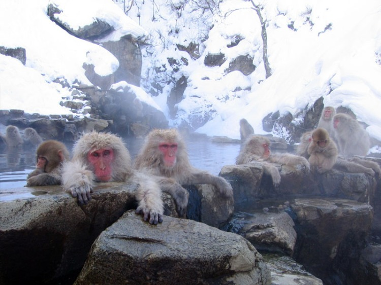 """Given the extreme cold gripping much of N. America right now I thought that I would post some pictures to help my readers think """"warm thoughts.""""  Source: Monkey's at the Jigokudani Hotsprings in Nagano Japan.  Wikimedia."""