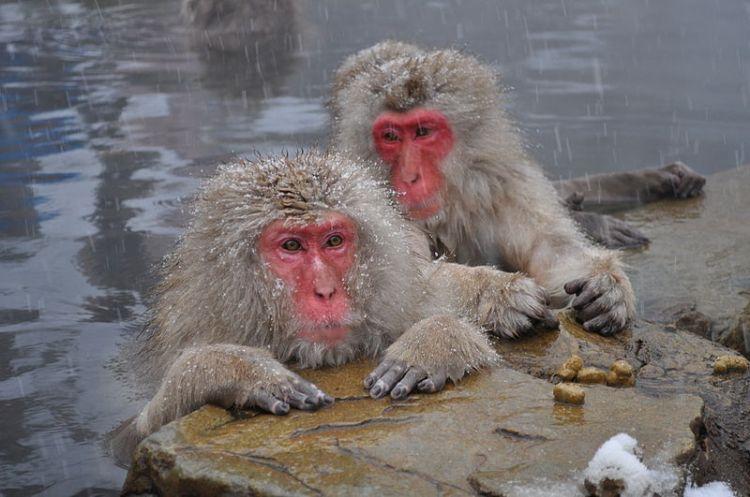 Snow Monkeys, Nagano Japan. Source: Wikimedia.
