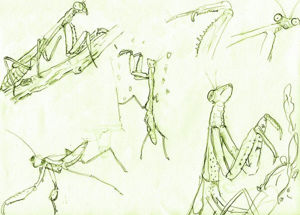 Mantis Sketches by VXD.  Source: Wikimedia.