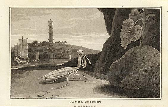 A Mantis in China.  Engraving by William Daniell, 1808.