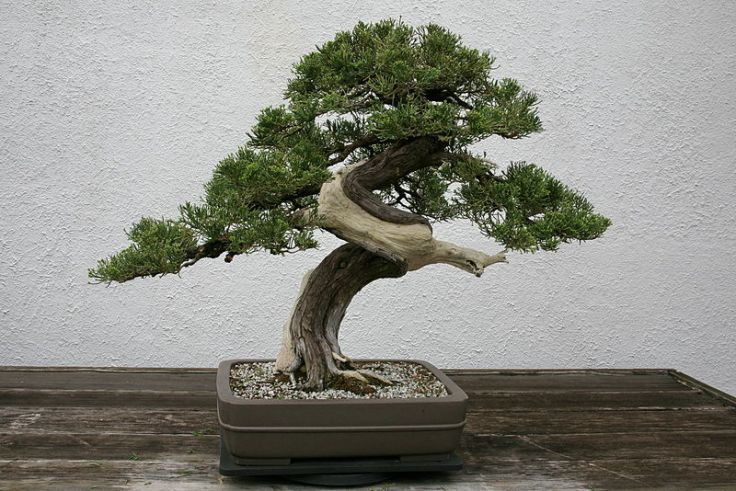 "A juniper Bonsai.  Note the use of both ""shari"" and ""jian.""  Source: Wikimedia."