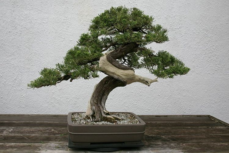 "A juniper Bonsai.  Note the use of both ""shari"" and ""jian.""  Source: Wikimedia."