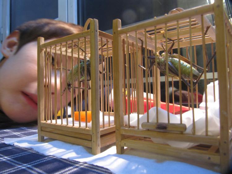 Chinese Crickets.  Source: Wikimedia.