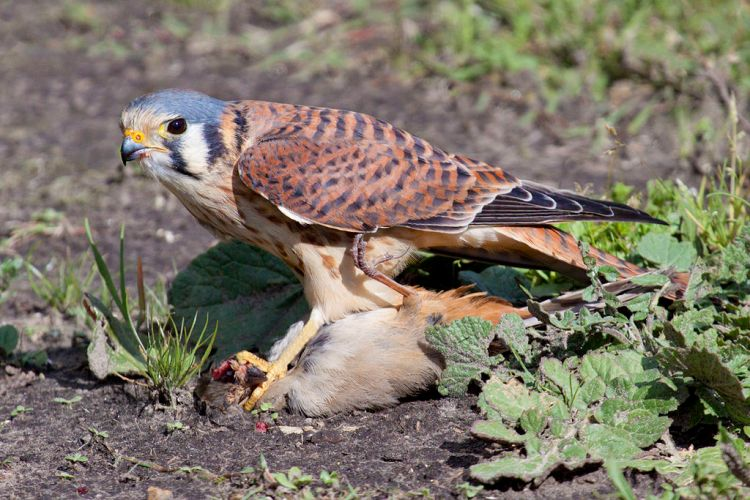An American Kestrel.  Source: Wikimedia.