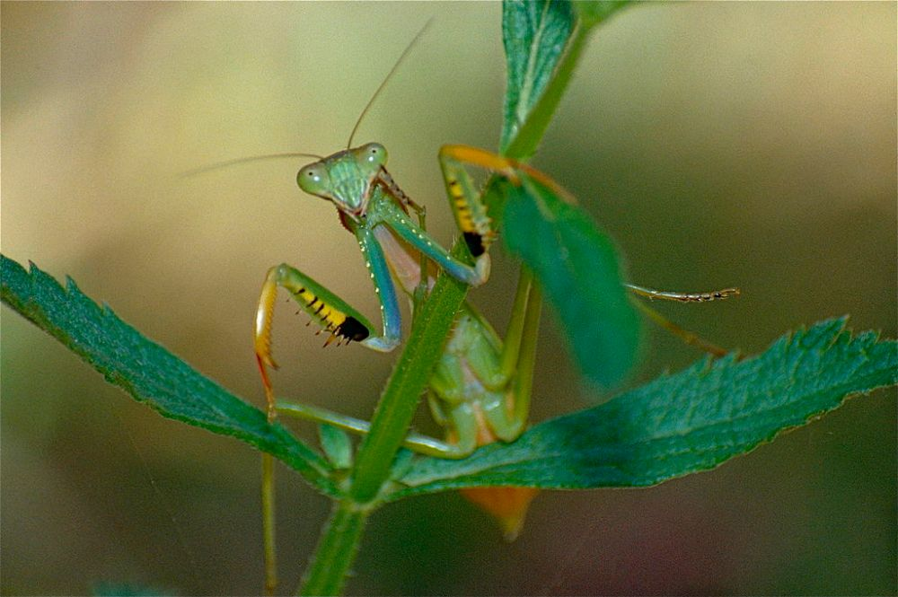 By Bernard DUPONT from FRANCE - Green Mantis (Mantidae), CC BY-SA 2.0. Source: Wikimedia.org