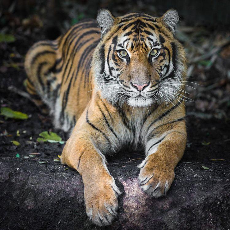 Sumatran Tiger. By Nichollas Harrison - Own work, CC BY-SA 3.0. Source: Wikimedia