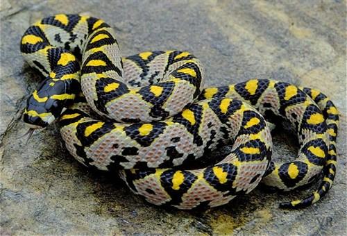 Mandarin Rat Snake. http://www.iherp.com/Public/Blog/Detail.aspx?uid=167619