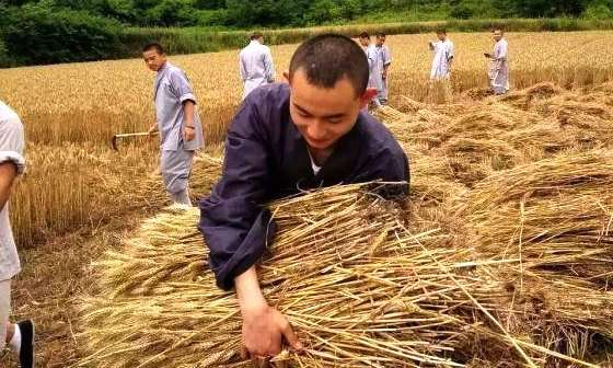 Monks at the Shaolin Temple harvesting wheat. Source: SCMP