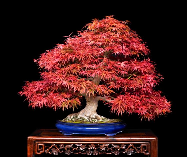 A Japanese Maple in Spring.  Source: Valavanis Bonsai Blog.